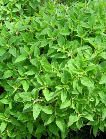 Ananassalbei - Verwendung in der Küche