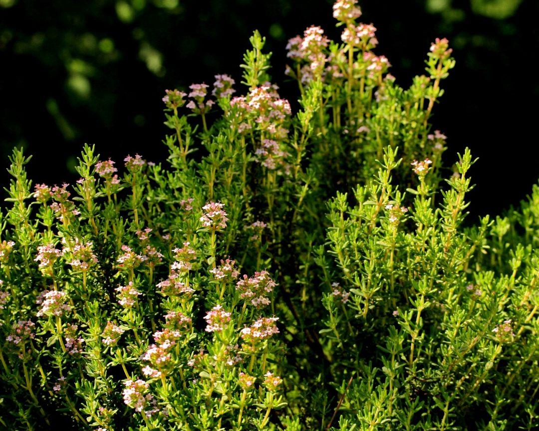 Kräuter pflanzen, pflegen und vermehren: der Thymian