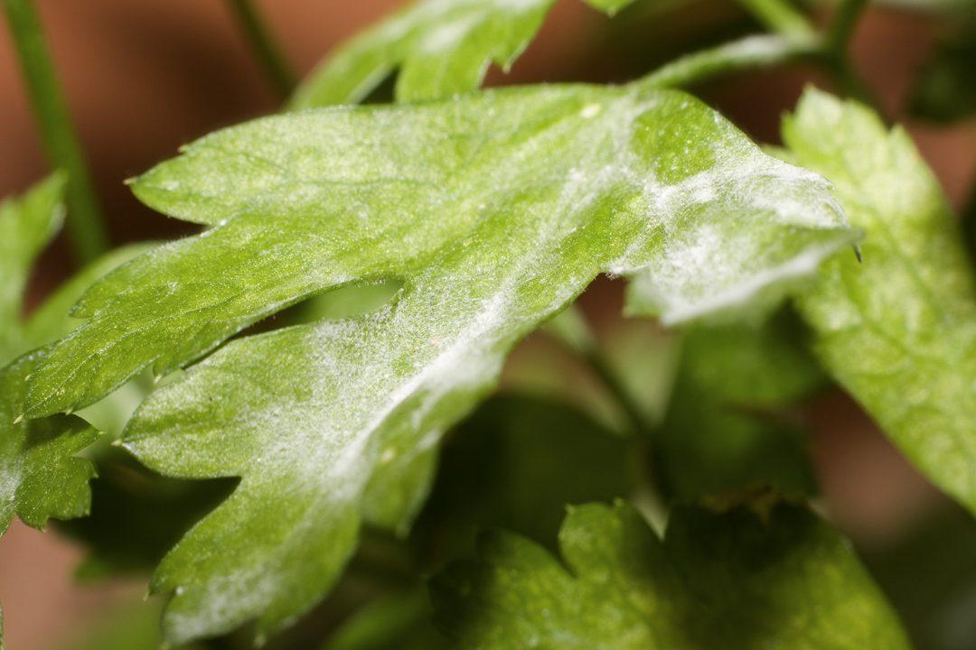 Hausmittel gegen Mehltau bei Kräutern und Pflanzen