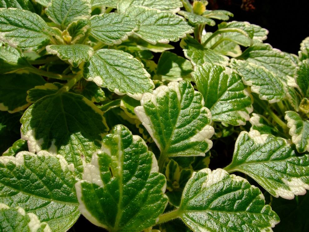 Weihrauchpflanze: duftet nach Weihrauch und ist Mottenkönig