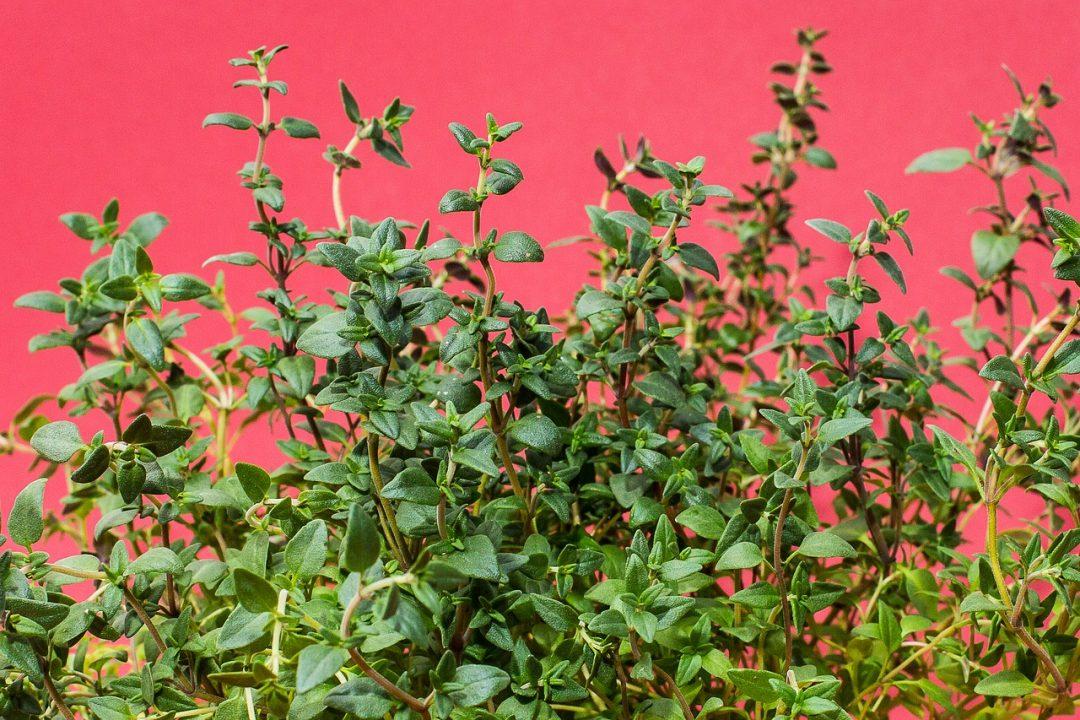 Kräuterkunde: Der richtige Kräuter Rückschnitt, Kräuter schneiden