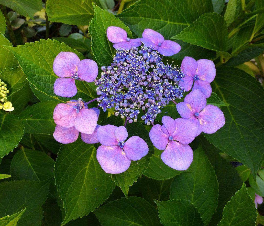 Anbau und Pflege der Buddha-Blume (Japanische Tee-Hortensie)