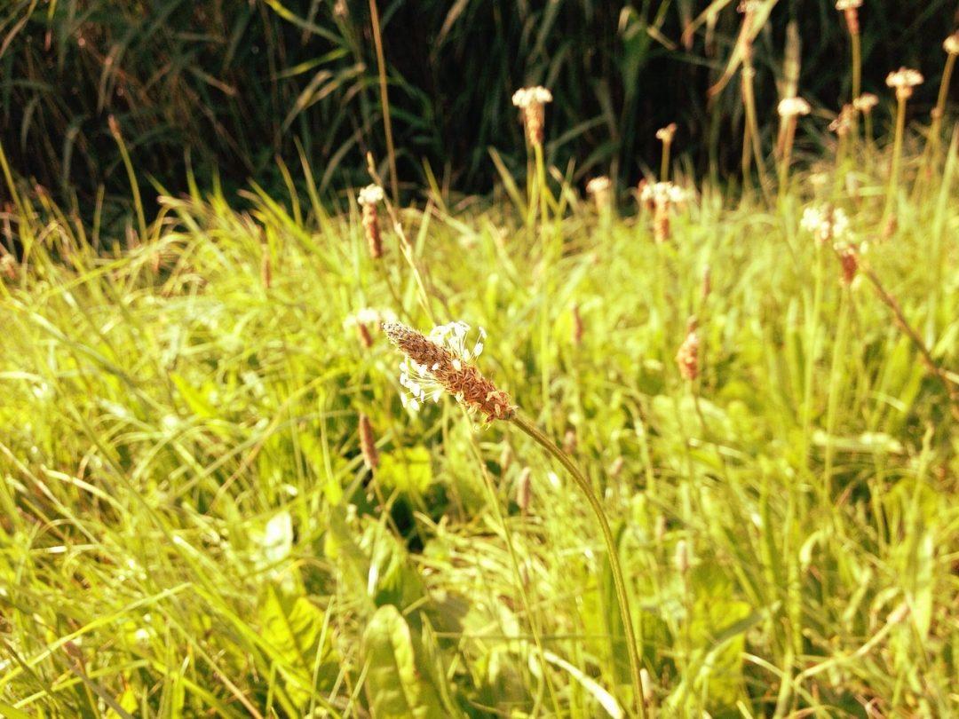 Sofortige Hilfe gegen Insektenstiche mit Spitzwegerich