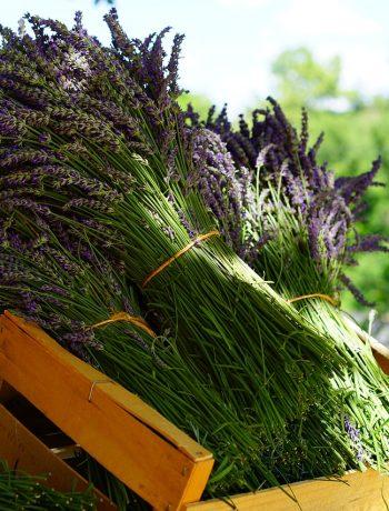 Lavendel ernten: der beste Zeitpunkt