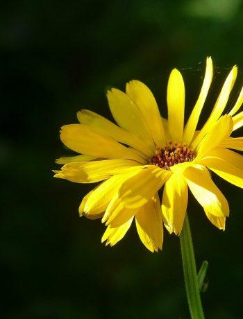 Ringelblumensalbe selber machen: Eine Anleitung