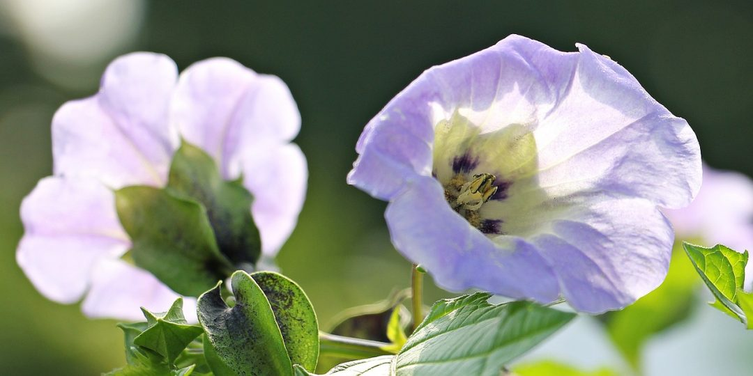 Die Blaue Lampionblume: Ein duftender Schädlingsbekämpfer