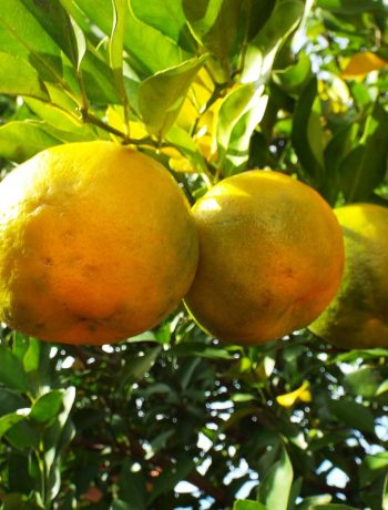 Bergamotte: Wundermittel bei Krankheiten aller Art
