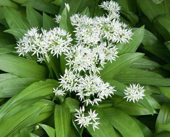 Baerlauch als Pflanze dargestellt