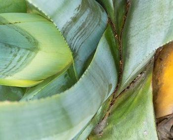 Der Artikel verrät Wissenswertes über Aloe Vera.