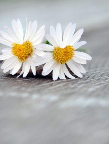 Der Artikel thematisiert die altbekannte Pflanze Gänseblümchen.