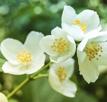 Jasmin-Blüte