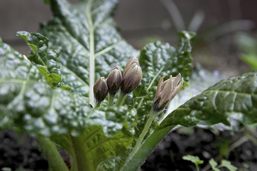 Alraune-Blüten