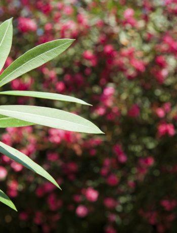 Blaetter vom Oleander
