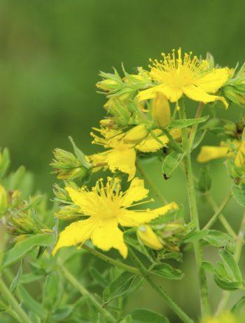 Blütenknospen mit breitem Wirkspektrum - das Johanniskraut