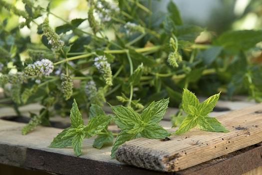 Pfefferminze, Ingwer und Co – Das sind natürliche Appetitzügler
