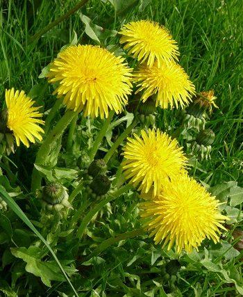 Wildkräuter: Natur-Power gegen Frühjahrsmüdigkeit und andere Wehwehchen