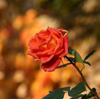 Rosen: So wachsen und blühen sie prächtig