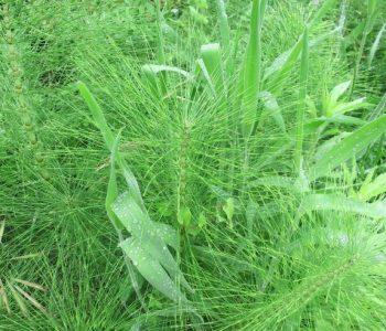 Zinnkraut: Die Pflanze mit den zwei Gesichtern