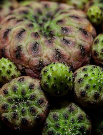 Naturdroge Meskalin: Peyote-Kaktus sorgt für Halluzinationen