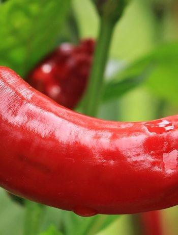 Scharfe Schoten: Die schärfsten Chilis der Welt!