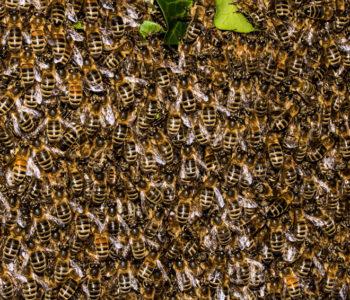 Kräuterpflanzen als Paradies für Bienen
