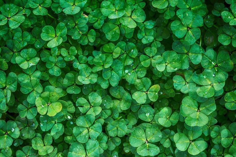 Klee im Garten: Für Hobbygärtner Unkraut statt Glücksbringer