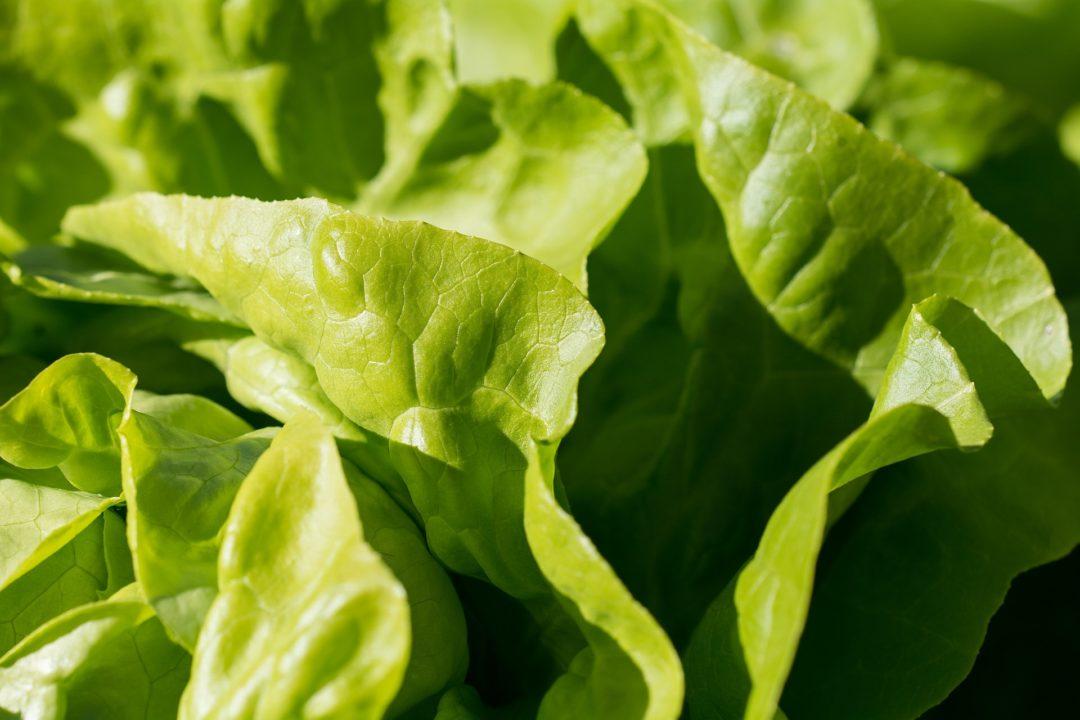 Salatsorten-ABC