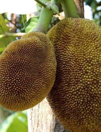 Statt Soja: Jackfruit als Fleischersatz
